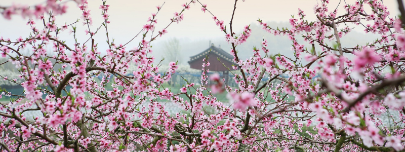 Chinese New Year 2021 - Peach Blossoms