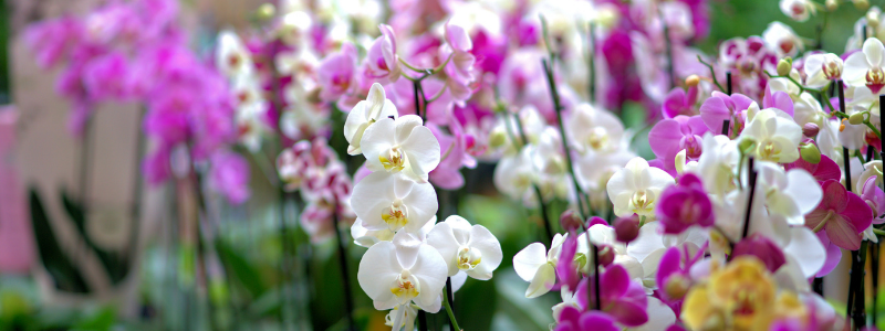 Chinese New Year 2021 - Orchids