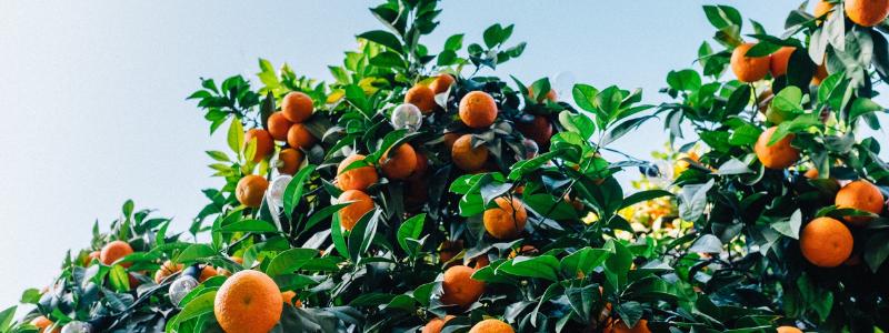 Chinese New Year 2021 - Tangerines